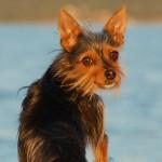 Gussie Dog